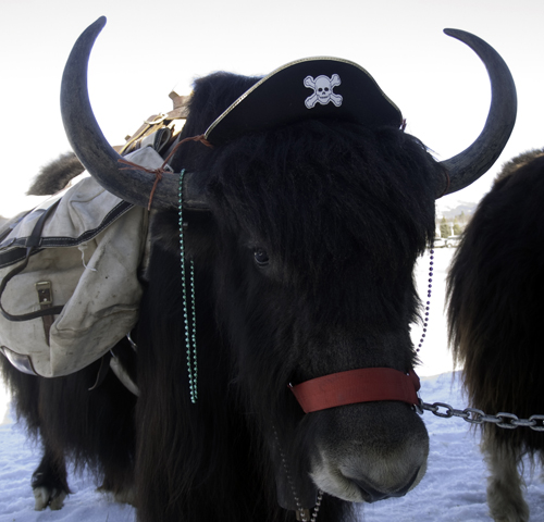 Pirate Yak